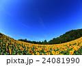 向日葵 ひまわり 花の写真 24081990