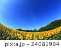 向日葵 ひまわり 花の写真 24081994