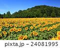 向日葵 ひまわり 花の写真 24081995