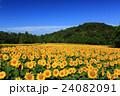向日葵 ひまわり 花の写真 24082091