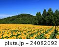 向日葵 ひまわり 花の写真 24082092