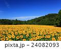向日葵 ひまわり 花の写真 24082093