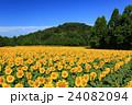 向日葵 ひまわり 花の写真 24082094