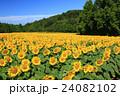 向日葵 ひまわり 花の写真 24082102