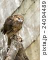 上野動物園 ノスリ 24094489