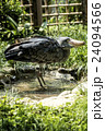 上野動物園 ハシビロコウ 24094566
