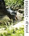 上野動物園 ハシビロコウ 24094568
