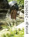 上野動物園 ハシビロコウ 24094570
