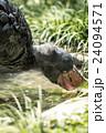 上野動物園 ハシビロコウ 24094571