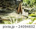 上野動物園 ハシビロコウ 24094602