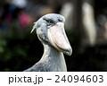 上野動物園 ハシビロコウ 24094603