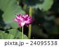 蓮の花とミツバチ 24095538