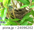 鳥の巣 24096202