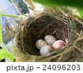 鳥の巣 24096203