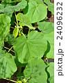 イチビ アオイ科 帰化植物の写真 24096232