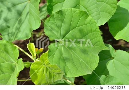 植物:イチビ アオイ科 24096233