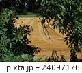 イギリスイングランドの収穫後の麦畑と麦わらロール3 24097176