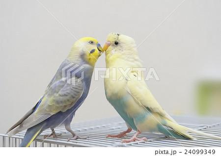 2羽のセキセイインコ 24099349