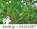セイヨウサンザシ バラ科 落葉低木の写真 24101667