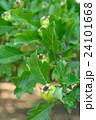 セイヨウサンザシ バラ科 落葉低木の写真 24101668