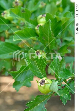 樹木:セイヨウサンザシ バラ科 24101668