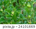 セイヨウサンザシ バラ科 落葉低木の写真 24101669