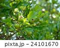 セイヨウサンザシ バラ科 落葉低木の写真 24101670