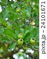 セイヨウサンザシ バラ科 落葉低木の写真 24101671