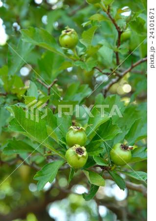 樹木:セイヨウサンザシ バラ科 24101671