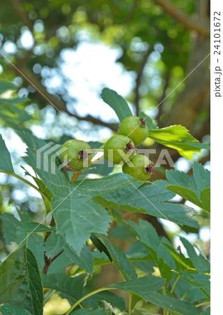 樹木:オオミサンザシ バラ科 24101672
