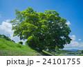 鴨川の土手の木 24101755