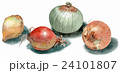 玉ねぎ 野菜 根菜のイラスト 24101807
