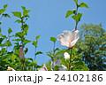 ムクゲ アオイ科 落葉低木の写真 24102186