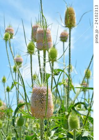 植物:ラシャカキグサ マツムシソウ科 24102313
