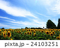向日葵 ひまわり 花の写真 24103251