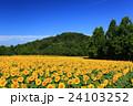 向日葵 ひまわり 花の写真 24103252