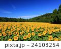向日葵 ひまわり 花の写真 24103254