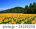 向日葵 ひまわり 花の写真 24103258