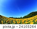 向日葵 ひまわり 花の写真 24103264