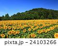向日葵 ひまわり 花の写真 24103266