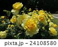 蜻蛉池公園のバラ 24108580