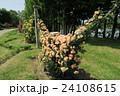 蜻蛉池公園のバラ 24108615