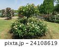 蜻蛉池公園のバラ 24108619