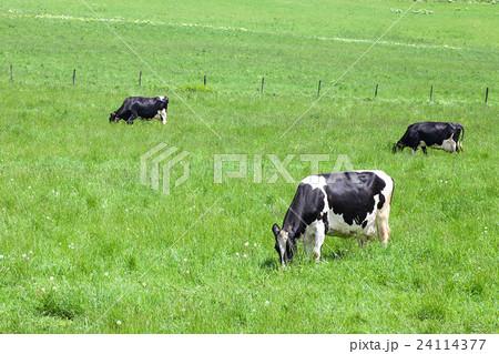 乳牛 24114377