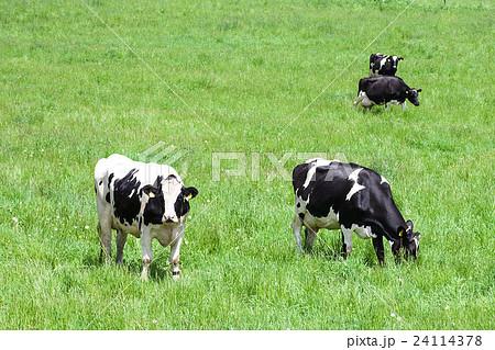 乳牛 24114378