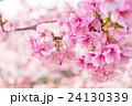 Sakura 24130339