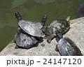 不忍池 緑亀 亀の写真 24147120