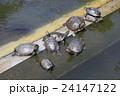 ミドリガメ ミシシッピアカミミガメ 亀の写真 24147122