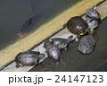 不忍池のカメ集団 24147123