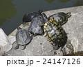 ミドリガメ ミシシッピアカミミガメ 亀の写真 24147126